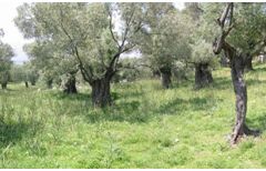 Olive grove along the Bay of Year